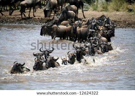 Wildebeest crossing the Mara River (Masai Mara; Kenya) - stock photo