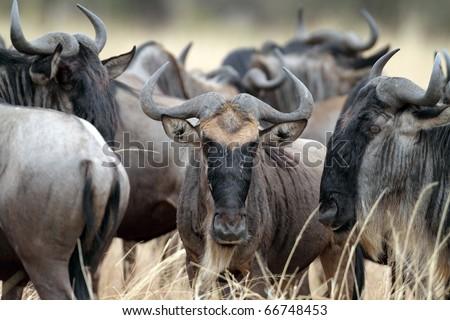 Wildebeest herd, Serengeti, Tanzania, East Africa - stock photo
