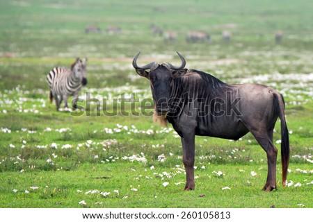 Wildebeest in African savanna with zebras on background - stock photo