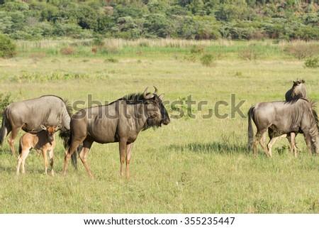 Wildebeest in the wild  - stock photo