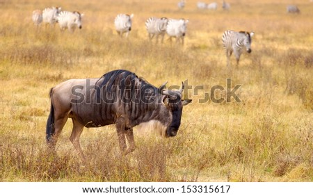 wildebeest is grazing the savannah in Africa  - stock photo