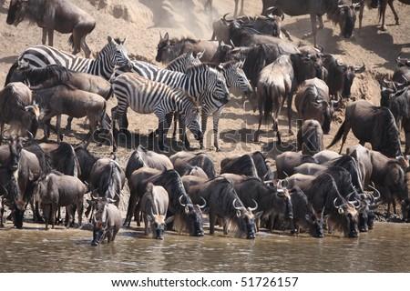Wildebeest migration, Masai Mara Game Reserve, Kenya - stock photo