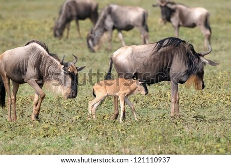 Wildebeest mother and calf at Serengeti National Park in Tanzania - stock photo