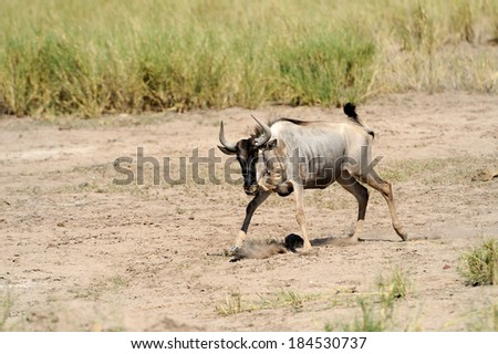 Wildebeest running on dusty plains ( Taurinus; connochaetes ) - South Africa - stock photo