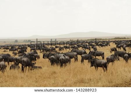 Wildebeests on the Serengeti - stock photo