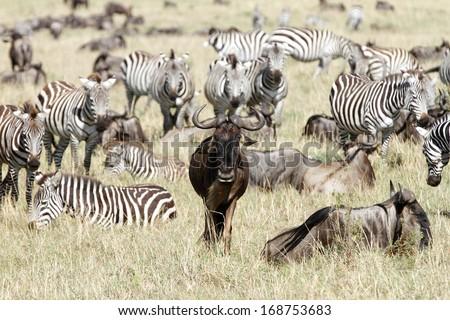 wildebeests & zebras - stock photo