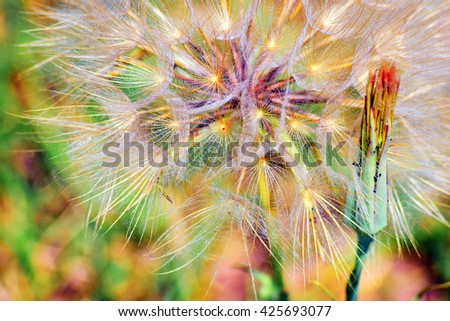 Wildflower dandelion seed head macro photo. Scientific name: Taraxacum Officinale. Vibrant colors. Beautiful bokeh technique and shallow depth of field. - stock photo