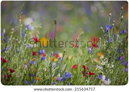 wildflower meadow background  - stock photo
