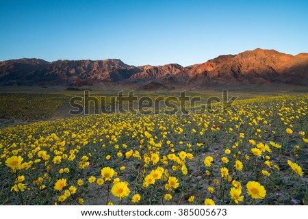 Wildflower super bloom in spring, Death Valley National Park, California - stock photo