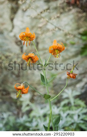 Wildflowers along a Mountain Trail. The Tiger Lily, bears large, fiery orange flowers covered by spots. The name tiger probably refers to the spots on the petals. Sauk Mountain, Washington state, USA. - stock photo