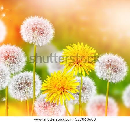 Wildflowers dandelions. Spring flowers - stock photo