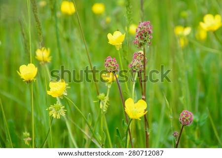 Wildflowers: meadow buttercups and great burnets - stock photo