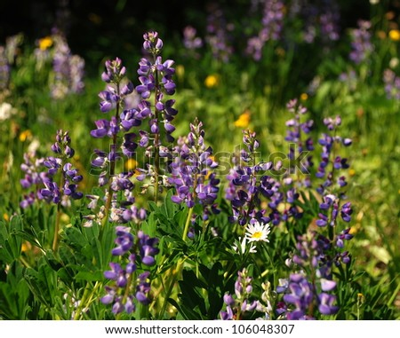 Wildflowers, Olympic National Park, WA - stock photo