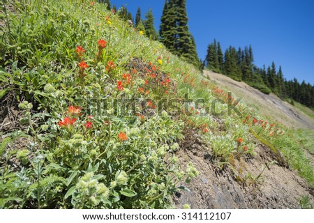 Wildflowers on Hurricane Ridge. Olympic National Park, Washington. - stock photo