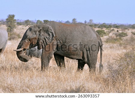 Wildlife: African Elephant - stock photo