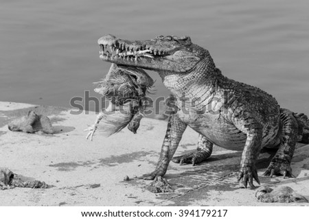 wildlife crocodile catches and eating a chicken, black and white photo - stock photo