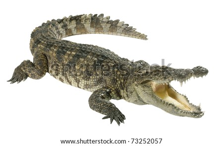 Wildlife crocodile open mouth isolated on white background - stock photo