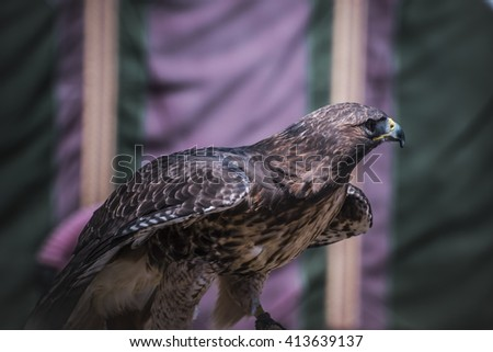 wildlife, exhibition of birds of prey in a medieval fair, detail of beautiful imperial eagle in Spain - stock photo