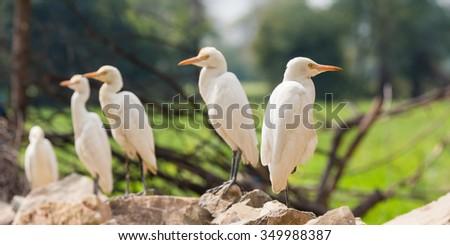 wildlife in india - herons - stock photo