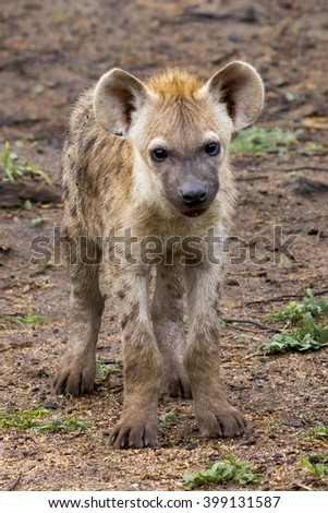 Wildlife of South Africa's Kruger National Park - juvenile spotted hyena  - stock photo