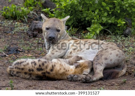 Wildlife of South Africa's Kruger National Park - mother and nursing child  spotted hyenas  - stock photo