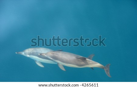 Wildlife. Pair of dolphins in the crystal clear seawater. - stock photo