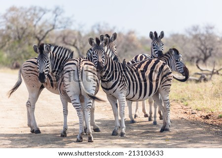 Wildlife Zebra Animals Wildlife zebra animals grouped together  on dirt road  under tree shade alert for dangers - stock photo