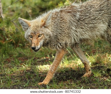Wiley Coyote - stock photo