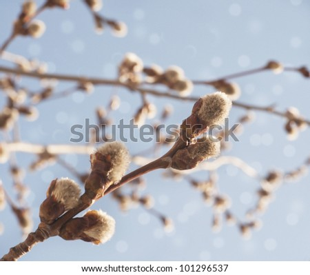 Willow branch on blue sky background - stock photo