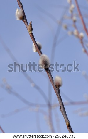 Willow buds on a branch close-up.  Willow blooms in early spring - stock photo