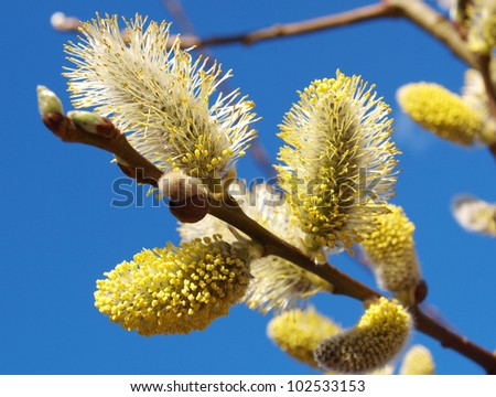 willow flowers - stock photo