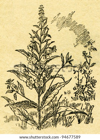 """willow-herb - an illustration from the book """"In the wake of Robinson Crusoe"""", Moscow, USSR, 1946. Artist Petr Pastukhov - stock photo"""