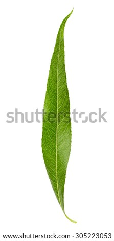 Willow leaf isolated on white background - stock photo