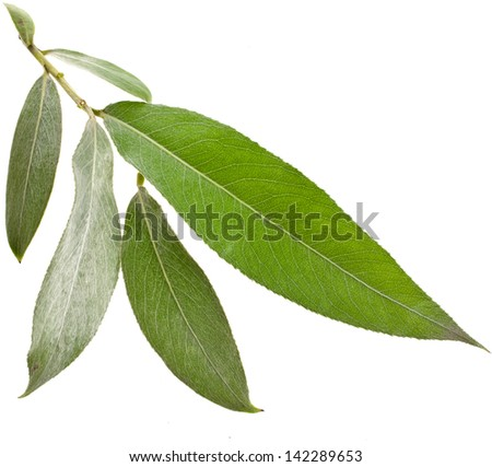 Willow silver weeping tree leaves isolated on white background - stock photo