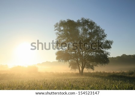 Willow tree in a field at dawn. - stock photo