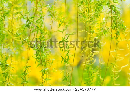 Willow Tree in the spring. - stock photo