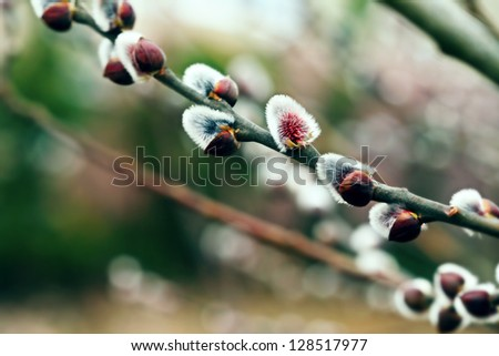 Willow twig in spring time. Small dept of field. - stock photo