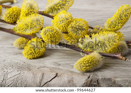 willows branches - stock photo