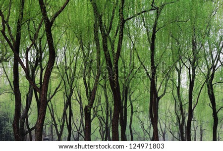 willows in spring - stock photo