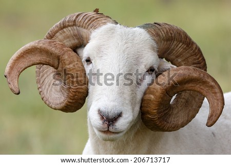 Wiltshire horn sheep portrait. - stock photo