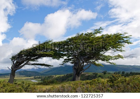 Wind-bent trees in Fireland (Tierra Del Fuego), Patagonia, Argentina - stock photo