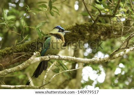 Wind blown blue-crowned motmot photographed in Costa Rica. - stock photo