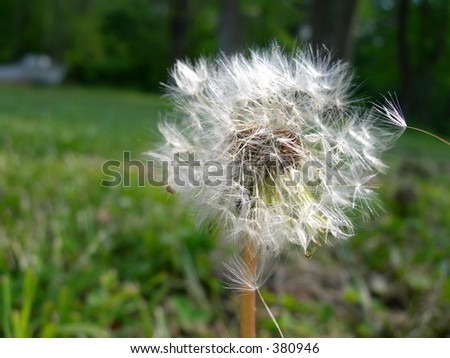 Wind blown Dandelion - stock photo