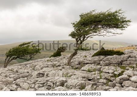 Wind blown tree, Twistleton Scar in the Yorkshire Dales - stock photo