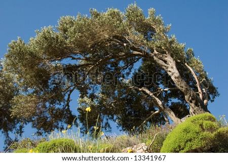 Windbroken olive tree - stock photo