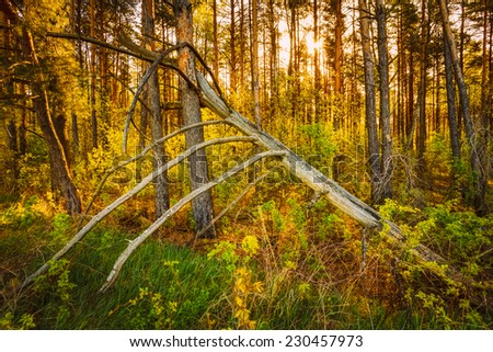 Windfall In Forest. Storm Damage. Fallen Tree In Coniferous Forest After Strong Hurricane Wind In Russia - stock photo