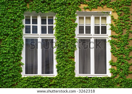 Windows on an old house covered with ivy - stock photo