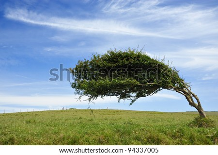 Windswept tree at Cuckmere Haven. - stock photo