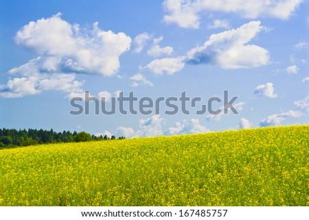 Windy day. Rapeseed field on a hillside - stock photo