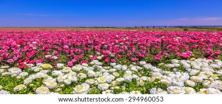 Windy spring day. A field of the blossoming buttercups of gentle lilac and white color - stock photo